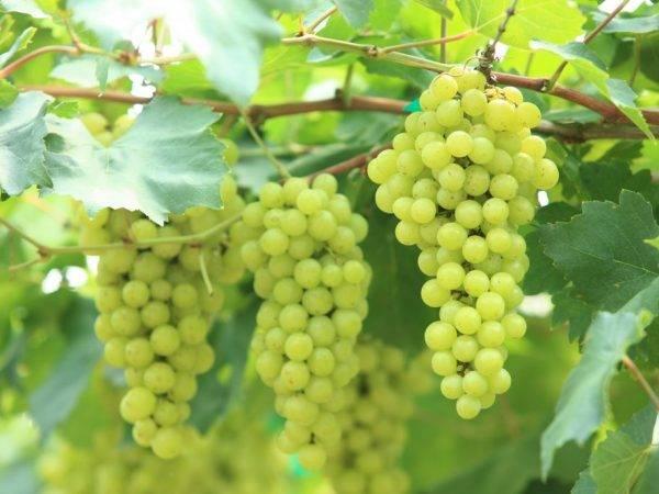 Виноград - обломка зеленых побегов