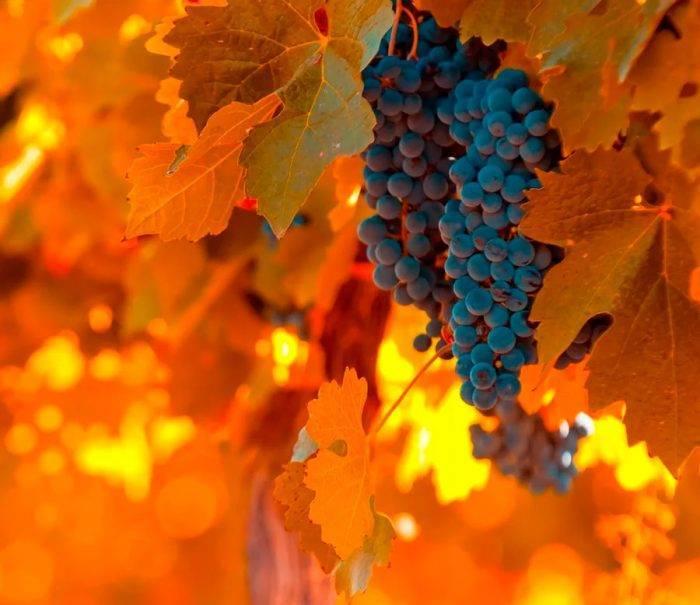 Как вырастить виноград в сибири