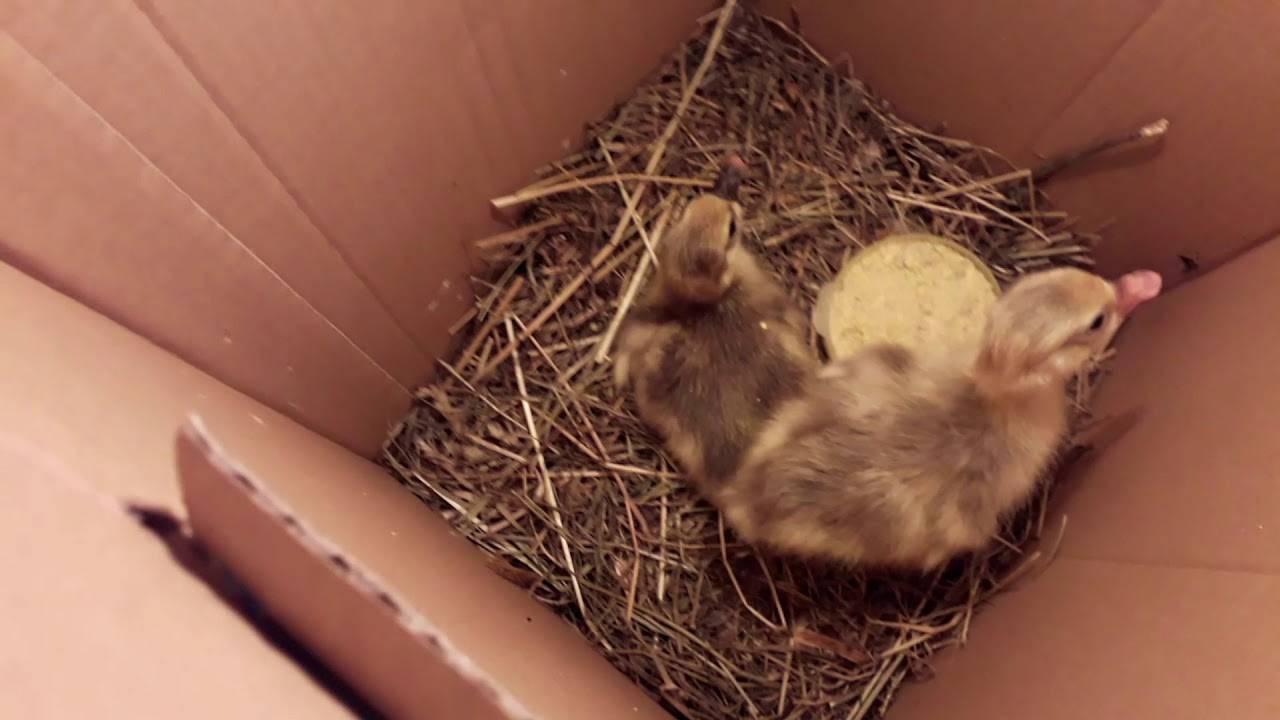 Кормление гусят с первых дней: правильный уход, чем кормить, рекомендации | кролики дома