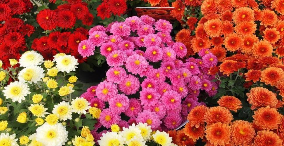 Выращивание корейской хризантемы и уход за ней