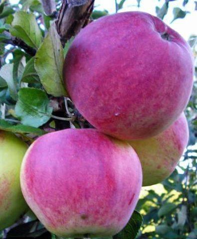 Высокоурожайная яблоня юный натуралист