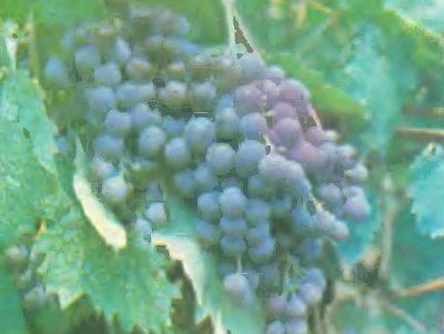 Виноград русский фиолетовый ранний: характеристика и описание сорта
