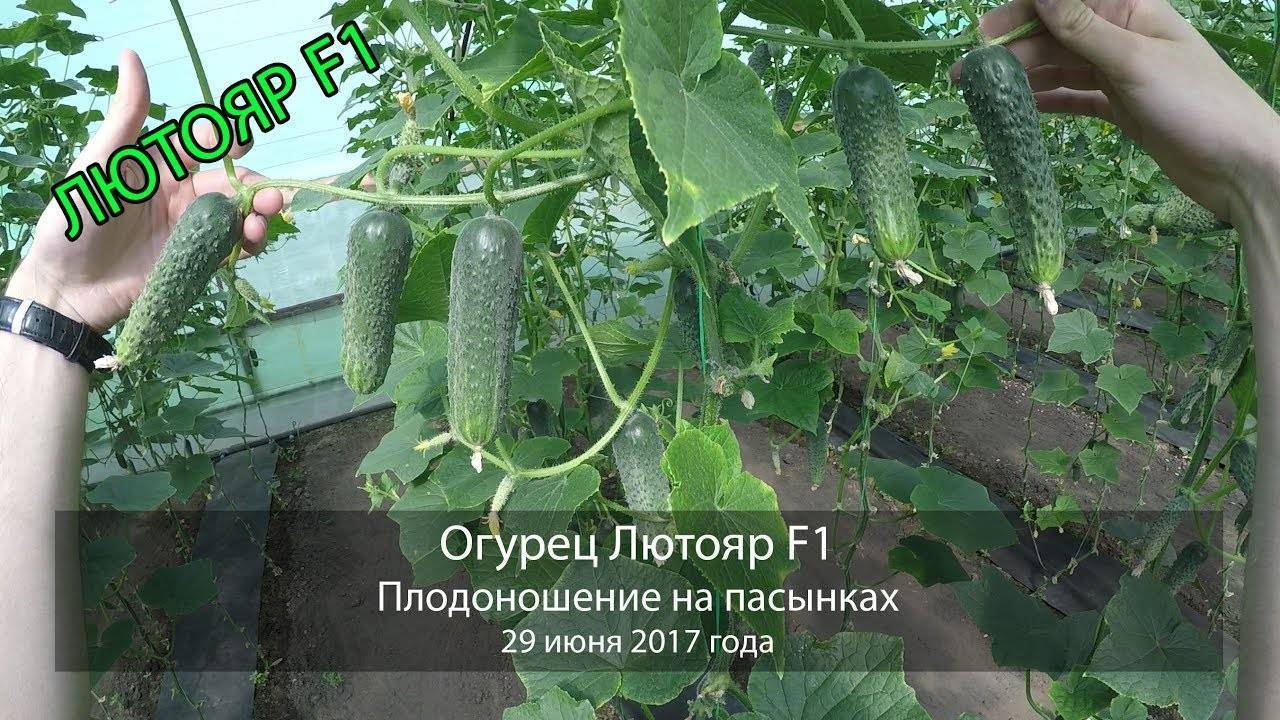Огурец лютояр f1: технология выращивания, урожайность