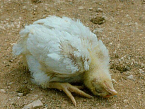 Куриные болезни: разновидности и их особенности
