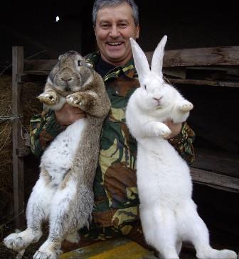 Кролики серый великан: описание породы. разнообразие пород кроликов-великанов
