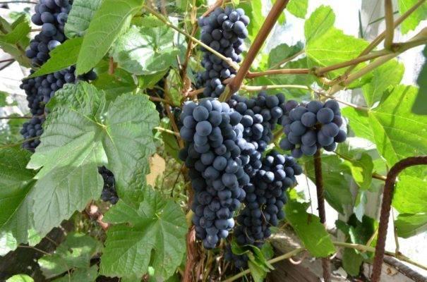 Сорта винограда для выращивания в сибири