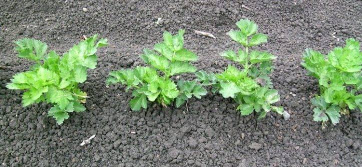 Сельдерей листовой выращивание из семян, пересадка в грунт и уход
