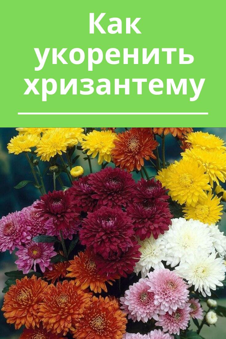 Правильное черенкование хризантем — комнатных, садовых, из букета