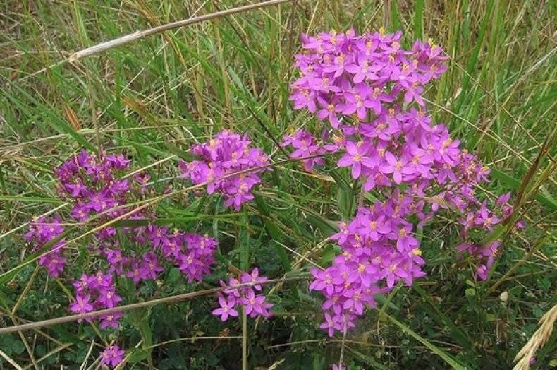 Золототысячник: красивый цветок и здоровья знаток