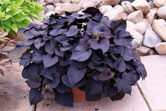 Ипомея батат (ipomoea batatas) — описание, выращивание, фото | на leplants.ru