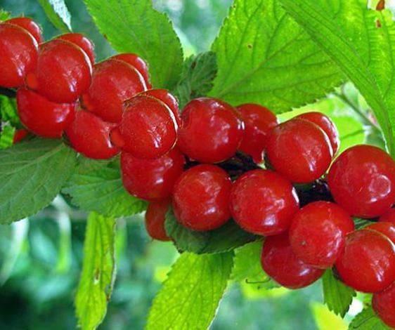 Описание сорта вишни брусницына и особенности ее выращивания
