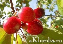 Как избавиться от тли на деревьях (яблоне, сливе, вишне): способы борьбы и народные средства