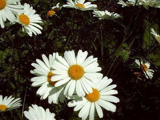 Цветок, похожий на ромашку. садовые цветы: названия, описание и фото