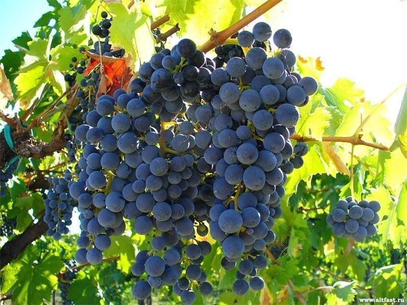 Когда и как сажать виноград осенью и весной
