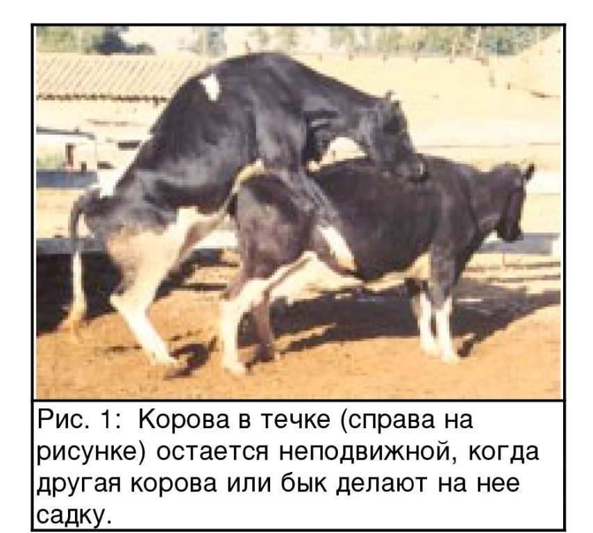 Спаривание у коров. процесс оплодотворения, и все нюансы случки коровы и быка
