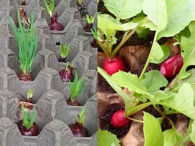Как выращивать редиску в домашних условиях: можно ли сажать овощ в горшки в квартире, допускается ли посев семян зимой, описание процесса и дальнейший уход