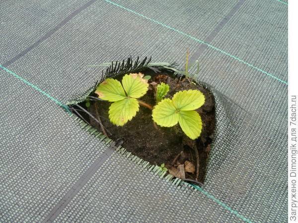 Скручиваются листья у клубники: почему и что делать, чем обработать кусты