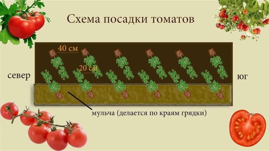 Посадка помидор в теплице расстояние