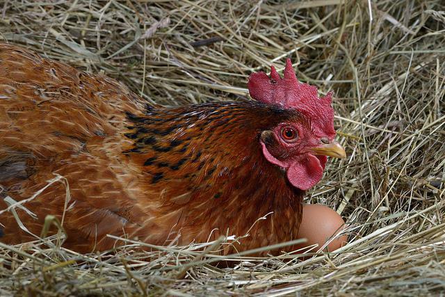 В какое время суток куры несут яйца