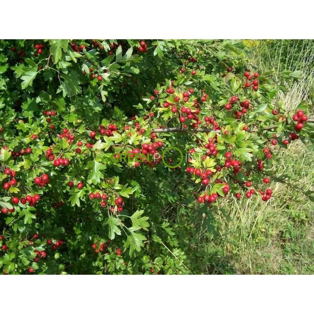 Боярышник кроваво-красный: полезные и лечебные свойства, применение настойки боярышника
