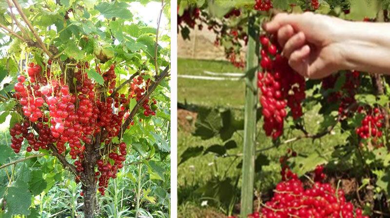 Как вырастить смородиновое дерево. штамбовая смородина. как выращивать смородину. - видео