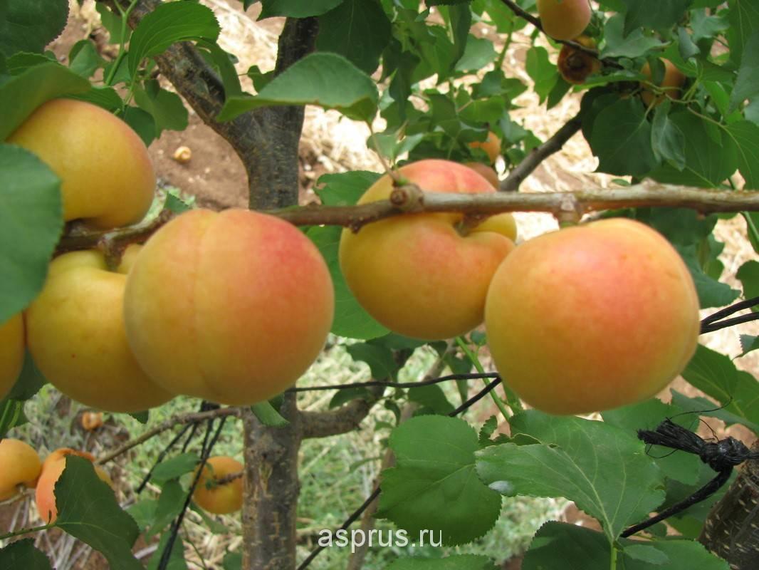 Сорт абрикоса царский: описание и характеристика сорта