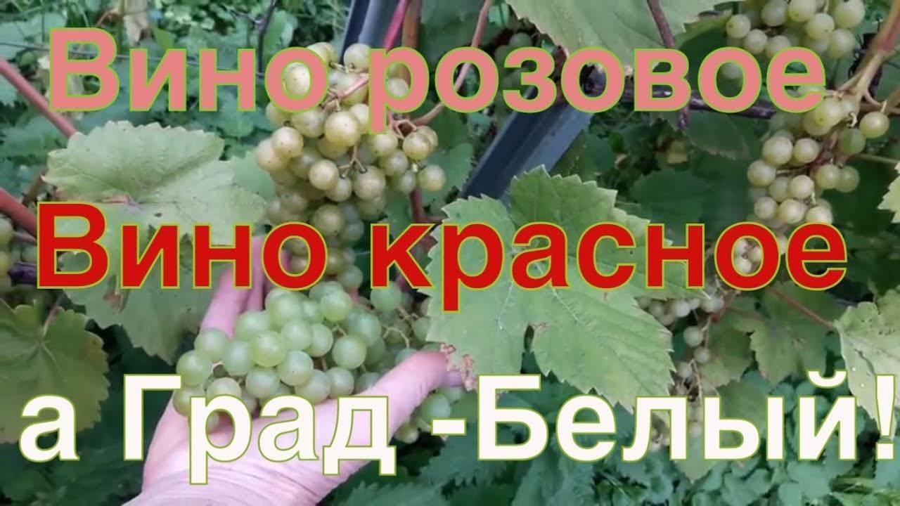Мускат белый — описание сорта винограда и особенности выращивания