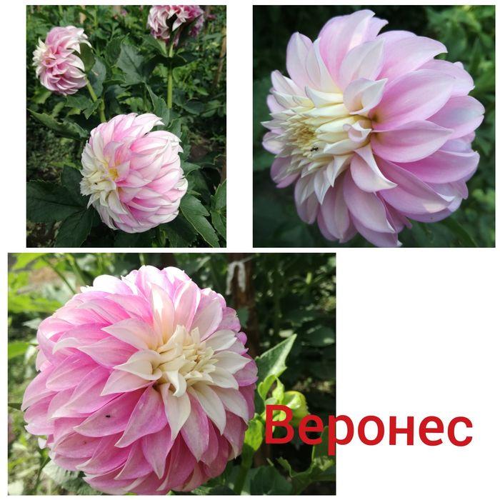 Какие бывают георгины: разновидности цветов георгин с фото и названиями, описание новых сортов георгин