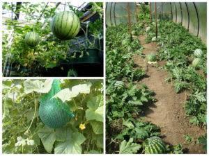 Современный подход как сажать арбузы в открытом грунте