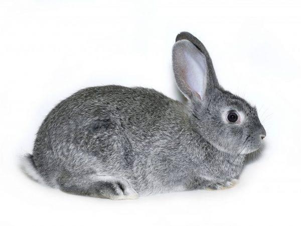 Редкие породы кроликов
