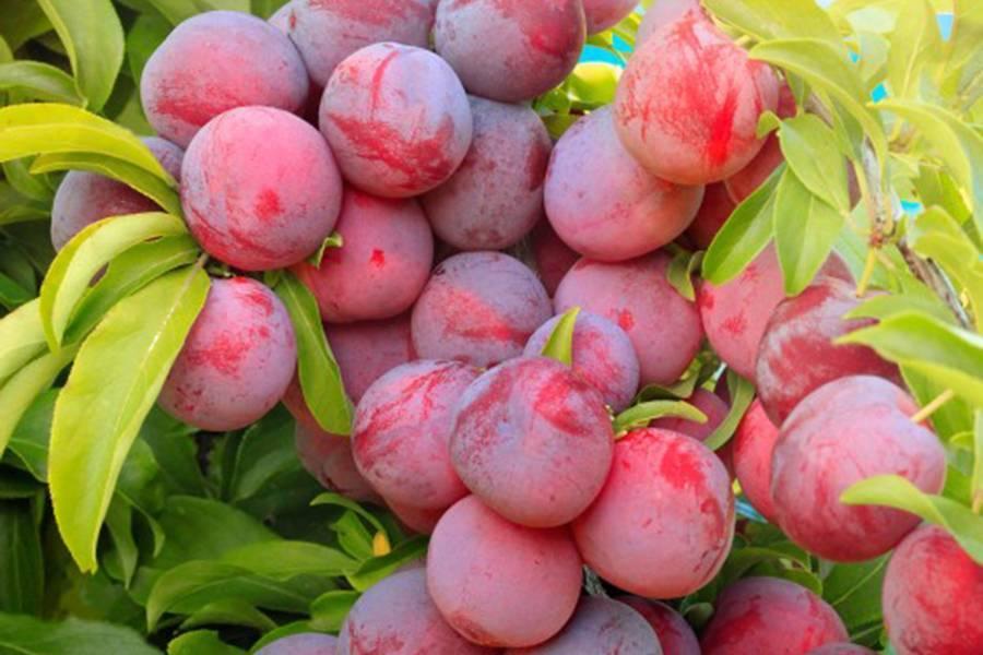 Слива — описание 22 самых популярных сортов: желтая, ренклод, венгерка и другие (фото & видео) +отзывы