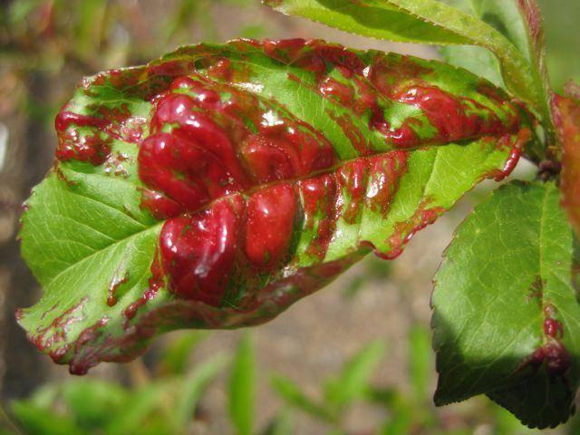 Как вылечить курчавость персика: методы борьбы, народные средства