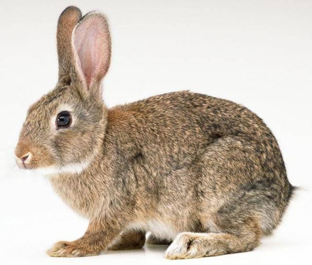 Роды у кроликов: сколько крольчиха вынашивает крольчат и признаки беременности