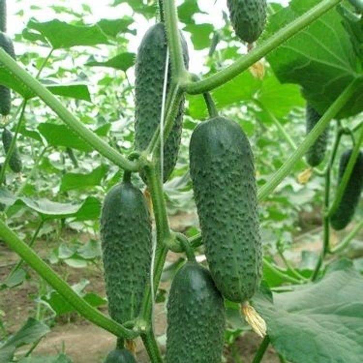 Огурец кибрия f1: голландский гибрид для круглогодичного выращивания