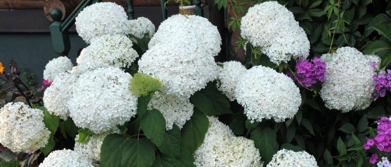 Гортензия на урале: подходящие сорта и секреты выращивания