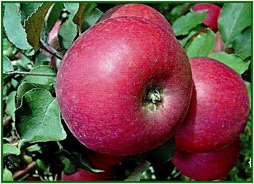 Особенности посадки и ухода за яблоней сорта вербное