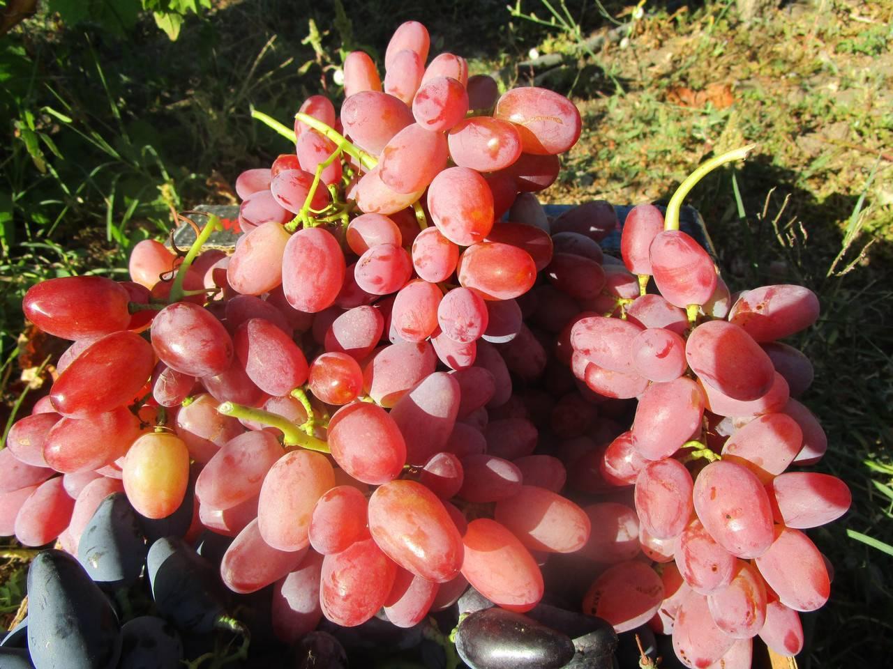 Виноград сорта гелиос: розовый вариант легендарной аркадии