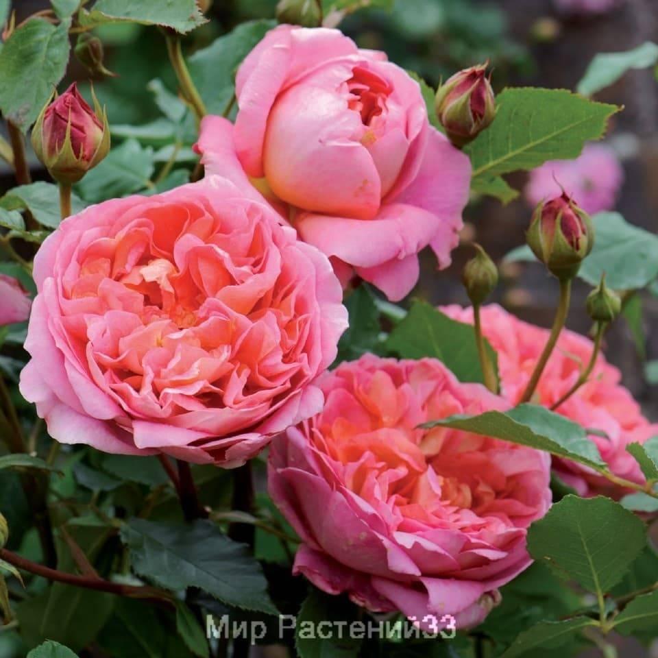 Особенности посадки чайно-гибридной розы бельведер: выращивание кустового сорта