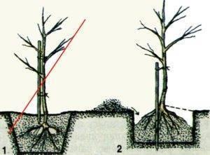 Колонновидные яблони: рекомендации по посадке, пересадке и уходу