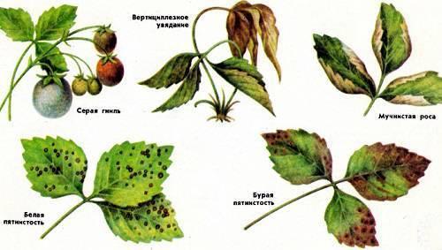 Грибковые заболевания клубники: описание и лечение