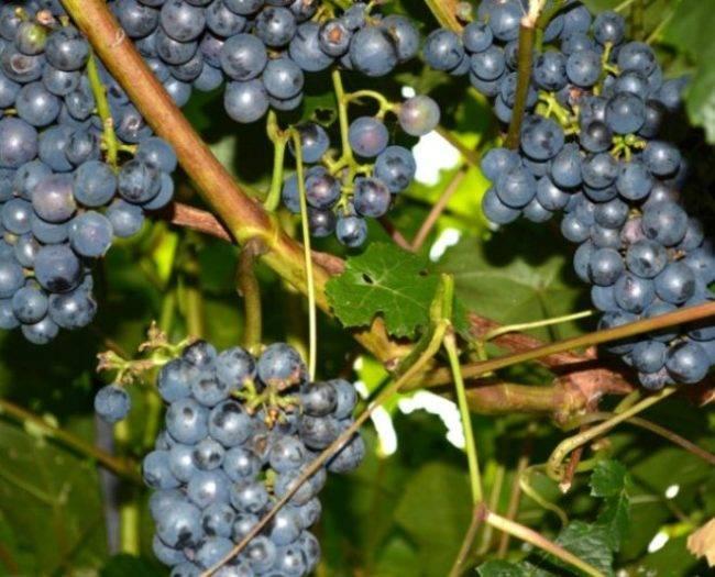Сорт винограда «зилга» — описание, фото, селекция, особенности посадки и ухода