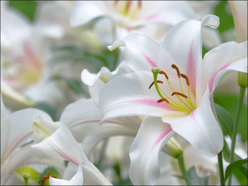 Как ухаживать за гладиолусами после цветения: что и как делать