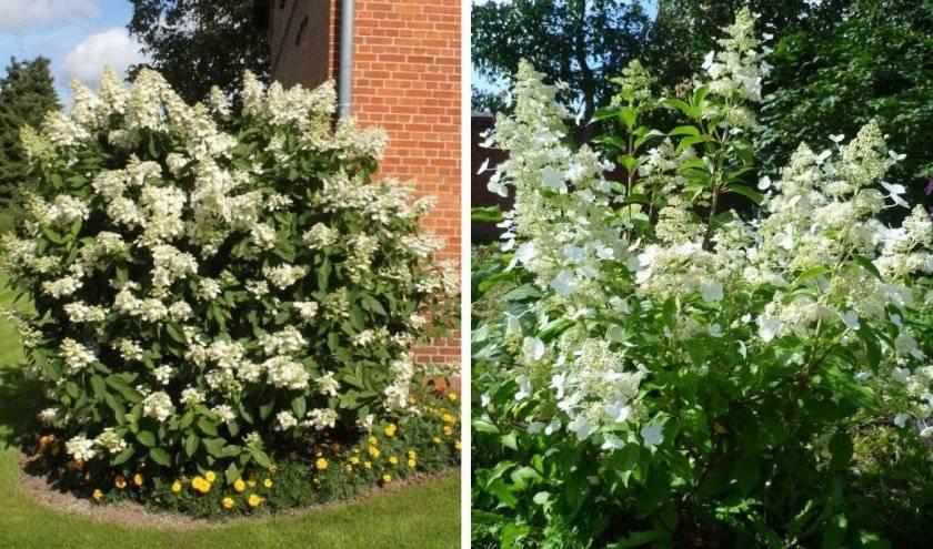 Гортензия садовая: фото, виды и сорта, посадка и уход, выращивание гортензии в открытом грунте