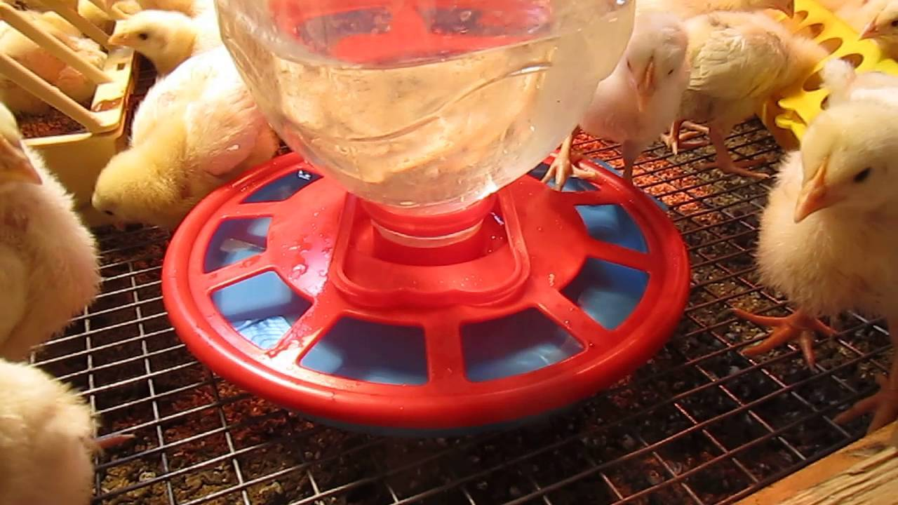 О цыплятах бройлеров: чем кормить в первые дни жизни в домашних условиях