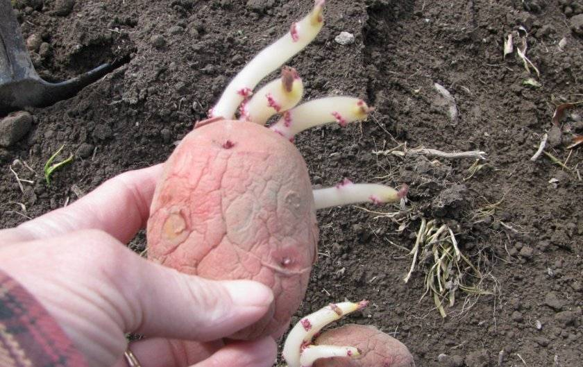 Эволюшн – урожайный картофель из голландии. как вырастить, плюсы, минусы, оценки садоводов