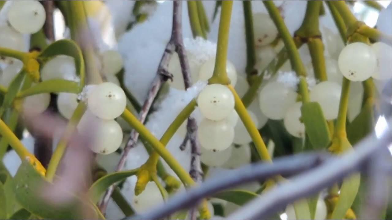 Трава омела ивная для похудения - как принимать, полезные и лечебные свойства, противопоказания