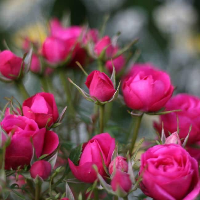 Летняя подкормка роз: схема внесения подходящих удобрений