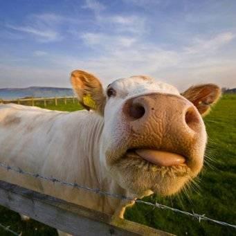 Бесплодие коровы (яловая корова): причины и лечение