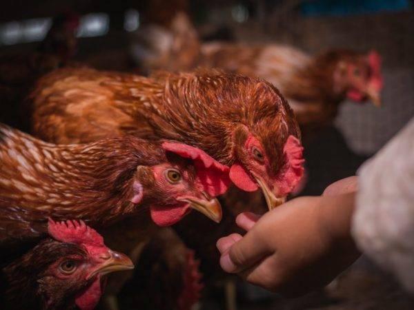 5 способов, как отучить курицу высиживать яйца