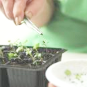 Как и когда посеять корневой сельдерей на рассаду